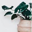 Urban-Jungle-Trend: Die beliebtesten Pflanzen und wie man sie richtig pflegt