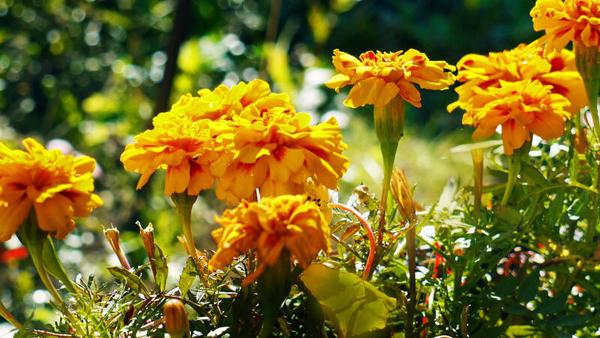 Tagetes im goldenen Herbstlicht (Leserfoto: Helmut Kuzina)
