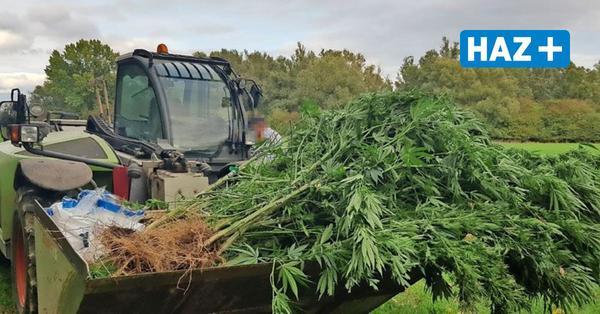 Versteckte Plantage: Wanderer entdeckt meterhohe Hanfpflanzen