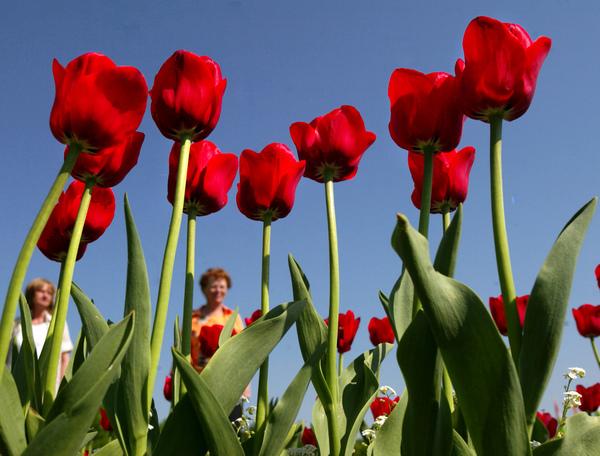 Damit im Frühjahr Tulpen blühen, müssen die Zwiebeln jetzt in die Erde. (Foto: Jens Wolf/dpa)