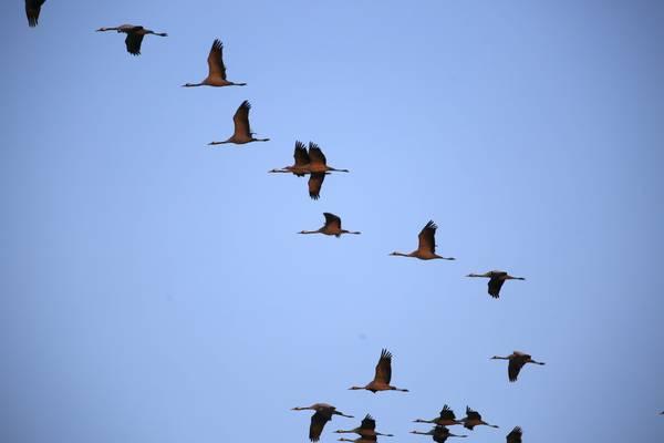 Die Flug-Formationen der Kraniche sind ein herrliches Naturschauspiel.