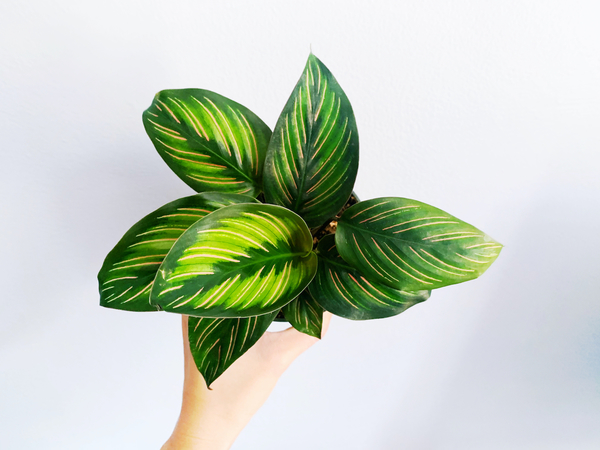I found this gorgeous calathea beauty star hidden behind other prayer plants. I am hoping I won't kill it like I killed its cousin the calathea pinstripe last year.