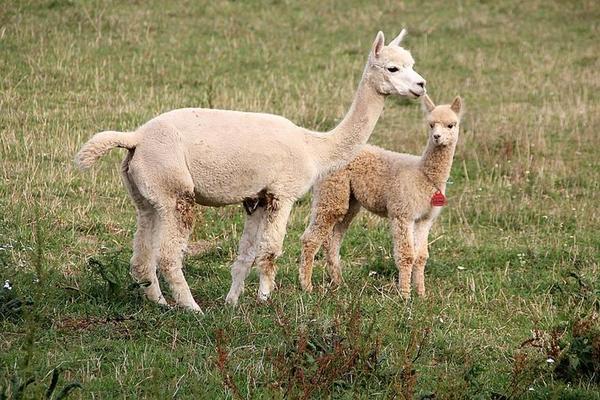Alpakastute mit ihrem Fohlen auf der Weide in Remsa. Quelle: Frank Hörügel