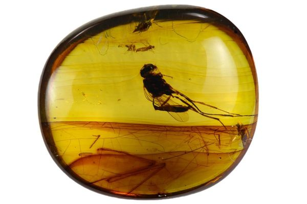 Insect Fossilized in Amber