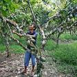 Göttinger Forscher: Handbestäubung sorgt für mehr Kakao-Ertrag