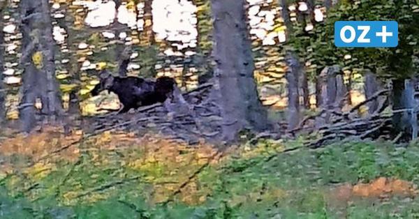 Kilometerlange Reise durch Vorpommern: Elch überrascht Pilzsammler bei GroßPetershagen