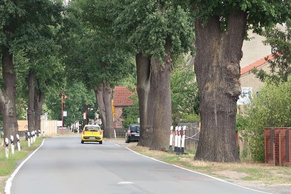 Alte Eichen in Beelitz werden gefällt. Foto: Jens Steglich