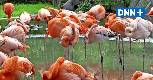 Zoo Dresden: Bau der Flamingo-Anlage auf der Zielgeraden