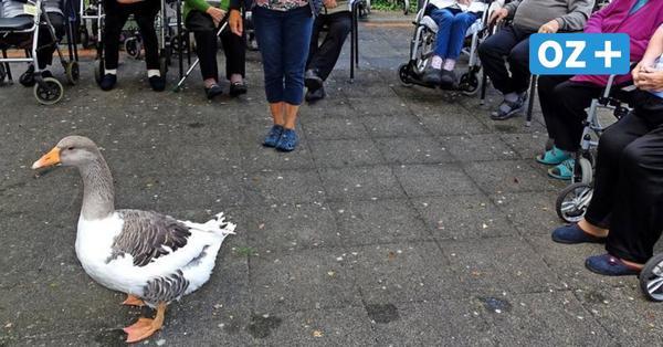 Kurioser Besuch im Kursana Pflegedomizil in Grimmen: Gans Berta heitert Senioren auf