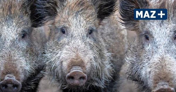 Wie muss ich mich verhalten, wenn ich ein totes Wildschwein sehe?