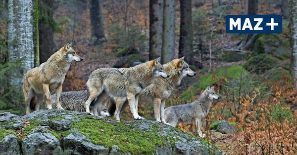 Löwenberger Land: Wolfsrudel bei Linde gesichtet