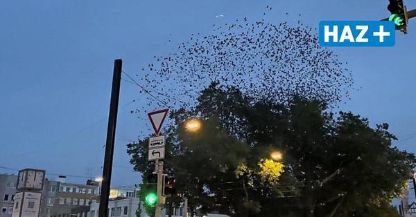 Im Video: Vogelschwarm zeigt Naturschauspiel am Steintor
