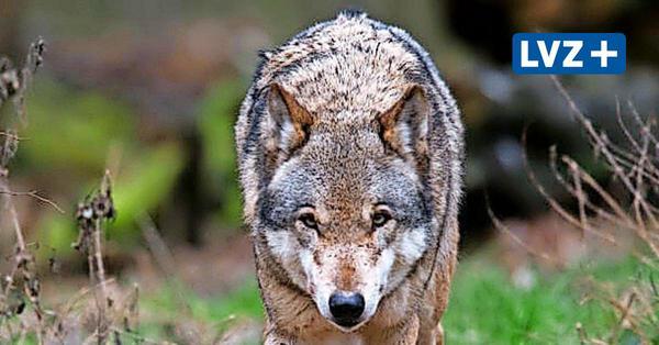 Ist der Wolf im Delitzscher Ortsteil Beerendorf angekommen?
