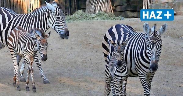 Lucifer, Lilly, Otto: Drei Zebras in Hannovers Zoo geboren