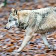 So viele Wolfsangriffe gab es im Osten der Region in diesem Sommer