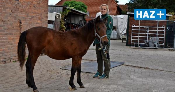 Von Wölfen schwer verletztes Pferd ist wieder gesund