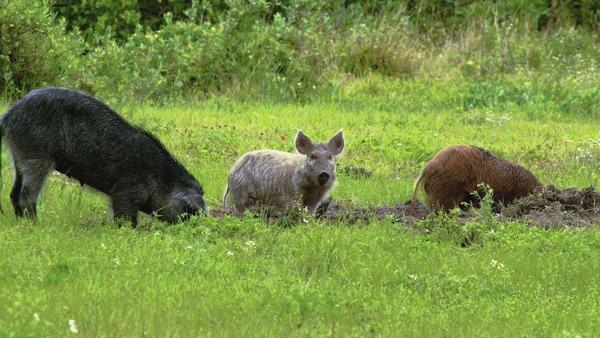 The Scramble to Defuse the 'Feral Swine Bomb'