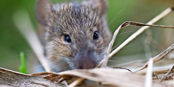 Die Mäuseplage in Sachsen verschärft sich – Bauern bangen um die Aussaat
