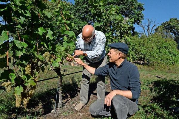 Reiner Wittkowski (l.) inspiziert die Helios-Trauben des neuen Jahrgangs. Sie werden bald gelesen. Foto: Hartmut Reck