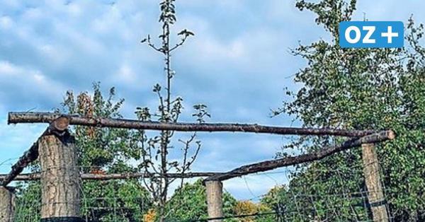 Laune der Natur in Jägerhof: Kirschbaum im Herbst in voller Blüte