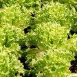 Hochsaison im Herbst: Endiviensalat ist knackig und vitaminreich