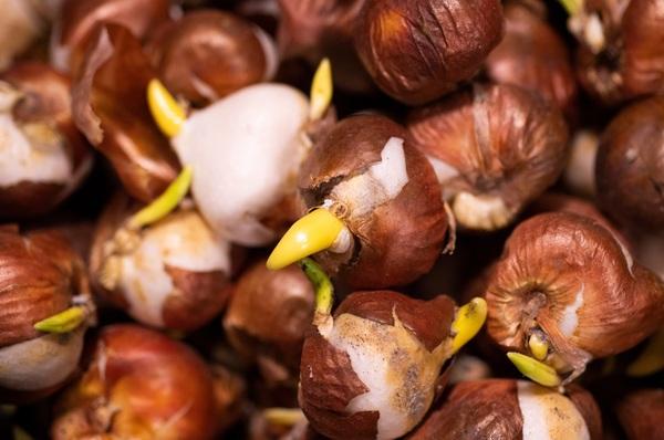 Frühblühende Zwiebelblumen wie Krokus, Tulpe und Narzisse werden am besten schon jetzt gepflanzt. Foto: Catherine Waibel/dpa