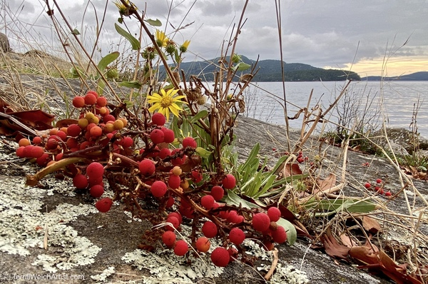 Arbutus Tree berries knocked down by ravens and robins by Terrill Welch.