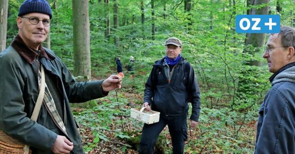 Champignon, Goldröhrling, Mönchskopf: Erfolgreiche Pilzsuche im Wald bei Parkentin