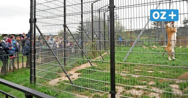 Dassow: Wie Deutschlands einziger Tigerpark der Coronakrise trotzt