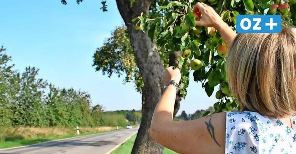 Obstpflücken an Straßenbäumen – so kurios sind die Regeln dafür