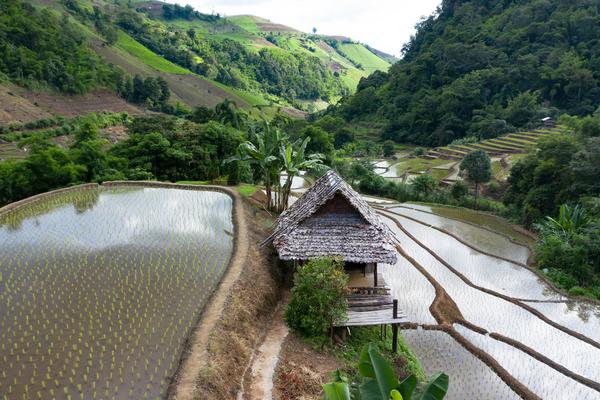 Reisfeld im Norden Thailands