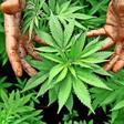 Neumünster: Cannabis-Plantage bekommt erste Hanf-Pflanzen