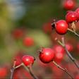 Früchte im Winter: Zier-Äpfel, Hagebutten und Schneebeere trotzen der kalten Jahreszeit