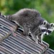 Waschbär, Marderhund und Mink breiten sich vermehrt in Deutschland aus