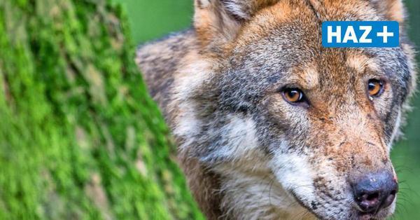 Niedersachsen will Wolf ins Jagdrecht aufnehmen – Landwirte und Jäger sind dafür