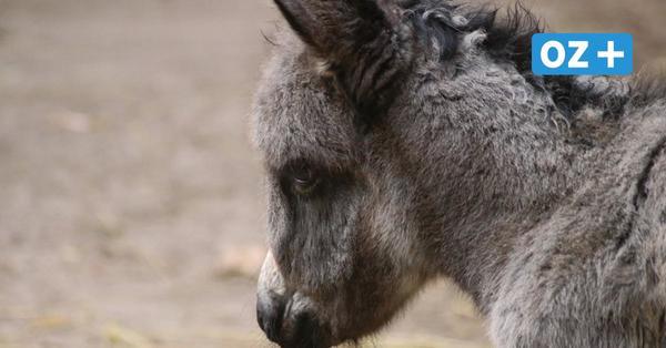 Eselbaby und kleine Wollschweine: Das gibt es aktuell im Tierpark Grimmen zu sehen