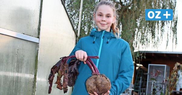 Riesenknolle in Ahlbeck: Fast 2 Kilo schwere Rote Beete geerntet