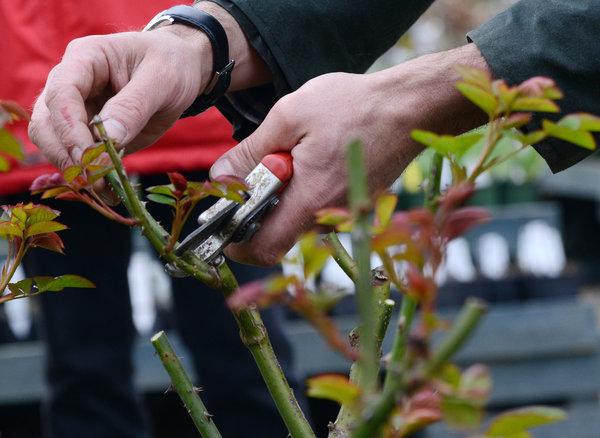 Der Rückschnitt der Rosen sollte ungefähr zur Zeit der Forsythienblüte erfolgen. Früher könnten die Rosen sonst Frostschäden erleiden. Foto: Andrea Warnecke/dpa