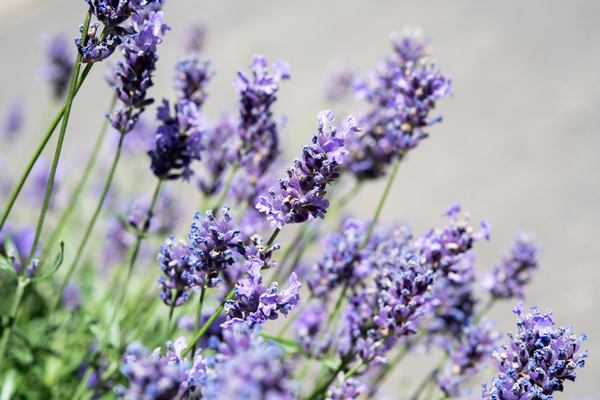 Empfindliche Gewächse wie Lavendel sollten erst im Frühjahr geschnitten werden. Foto: Andrea Warnecke/dpa