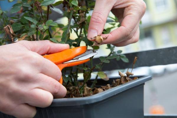 Tote Blüten oder Knospen an Rosen sollten im Herbst entfernt werden. Foto: dpa