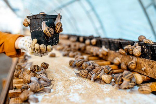 Escargots, la filière hélicicole se demande à quelle sauce elle va être mangée -