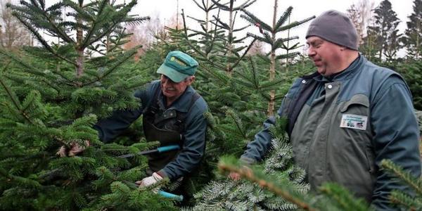 Stoltenhagen: Wie der Weihnachtsbaumkauf in Coronazeiten laufen wird