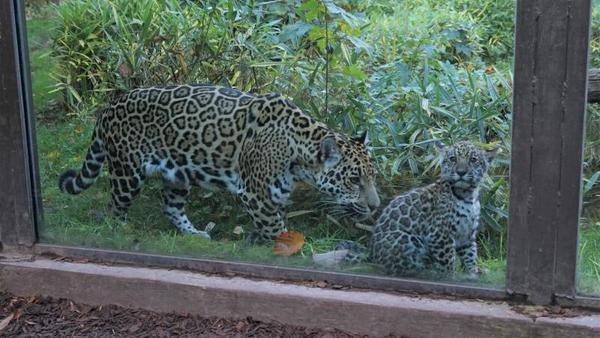 Jaguar-Nachwuchs im Rostocker Zoo (Foto: Bernhard Legler)