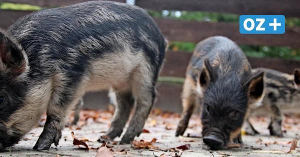 Wollschwein-Babys ganz nah: Streichelgehege im Grimmener Tierpark fertiggestellt