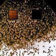 Video-Installation: Ein Bienenschwarm an Laußiger Giebelwand