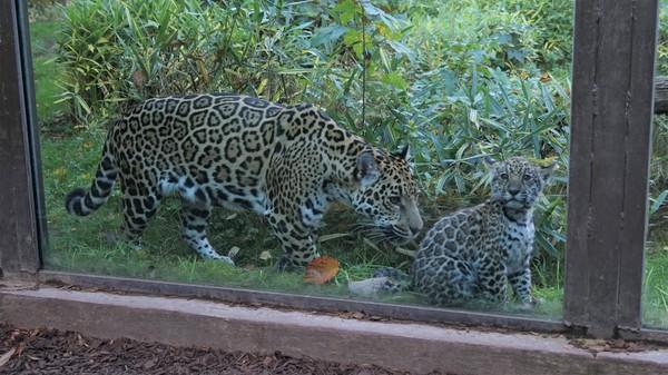 Die Jaguar-Dame mit Nachwuchs im Rostocker Zoo. (Foto: Bernhard Legler)