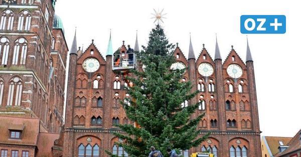 Weihnachtsstimmung in Stralsund: Tannenbaum auf dem Marktplatz aufgestellt