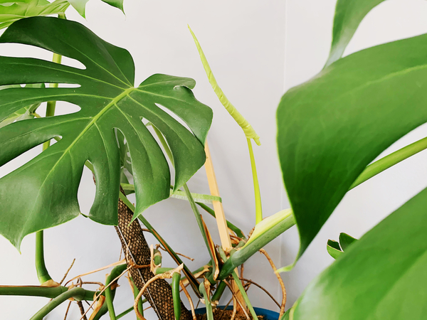A new leaf on my monstera!