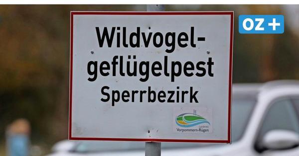 Zweiter Landkreis in MV von Vogelgrippe betroffen - das gilt in Vorpommern-Greifswald