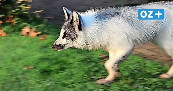 Weißer Fuchs streift durch Boltenhagen: Darum wurde er jetzt eingefangen